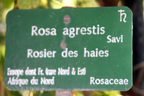 rosa agrestis étiq paris 10 oct 2010 074.jpg