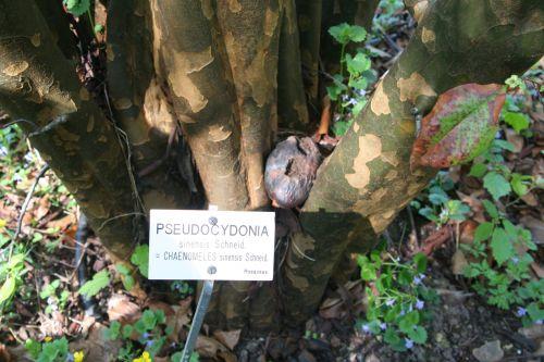4 pseudocydonia barres 9 avril 2011 034.jpg