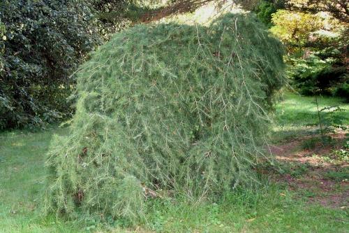 4 cedrus deo pend arbofolia 9 oct  2010 092.jpg