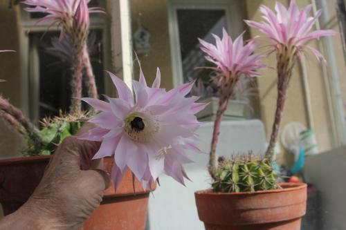 cactus 9 juil 2017 019 (3).jpg