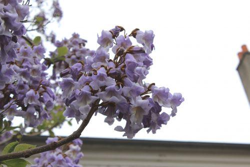 6 paulownia veneux 18 mai 2013 006 (3).jpg