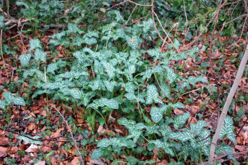 arum italicum veneux 3 janvier 2014 026.jpg