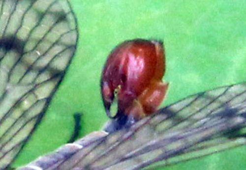 abd mouche scorpion abd romilly 16 juil 2012 331.jpg