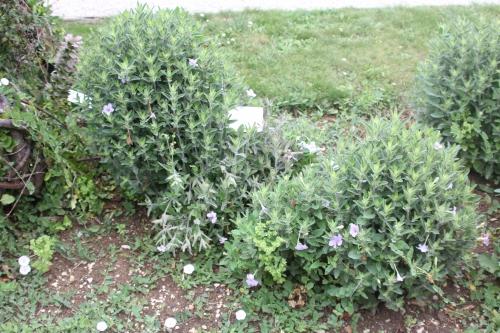 ruellia ciliosa marnay 19 juil 2015 046 (1).jpg
