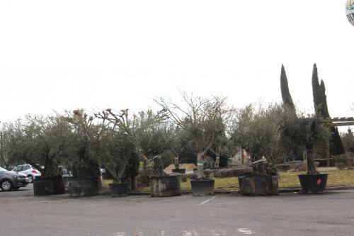 oliviers 2 17 fev 2012 005.jpg