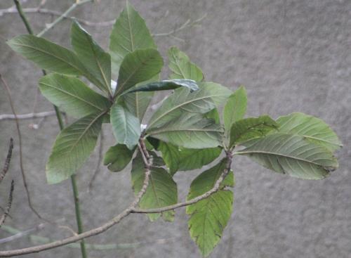 4 eriobotrya veneux 28 déc 2014 015.jpg