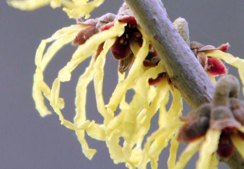 hamamelis fleur arnold romi 16 fév 2013 018 (4).jpg