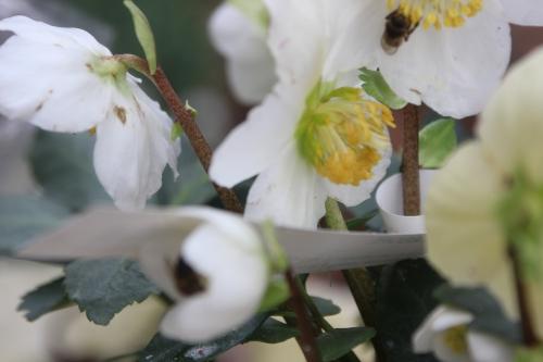 abeille hellébore veneux 1 fev 2017 001 (6).jpg