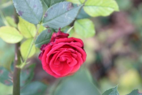 rosa romi 2 dec 2015 030.jpg