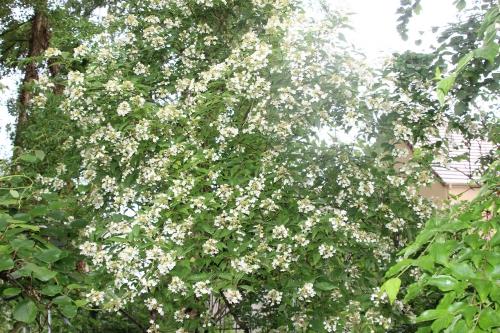 1 hydrangea bretschn veneux 16 juin 2016 008.jpg