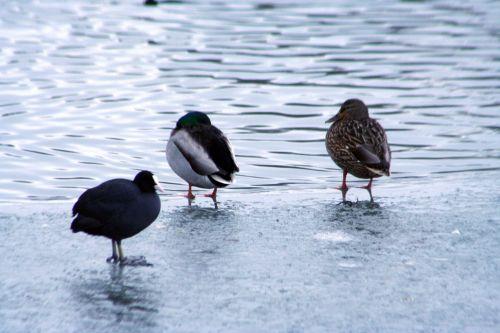 oiseaux canards foulque neige 21 dec 006.jpg