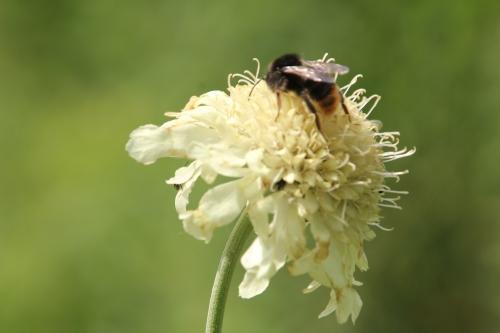 6 cephalaria romi 15 juin 2011 058.jpg