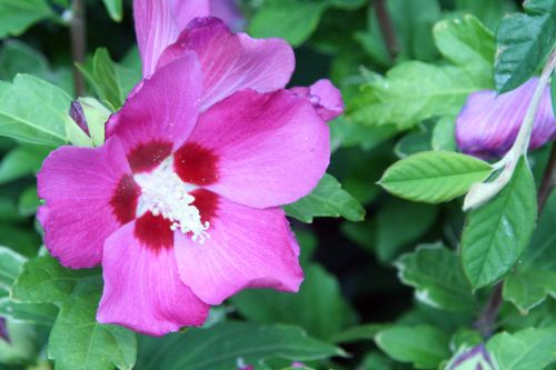 hibiscus syr rouge veneux 29 juil 2010 064.jpg