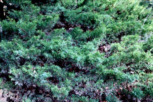juniperis sqiamata gb 25 mars 2012 146 (4).jpg