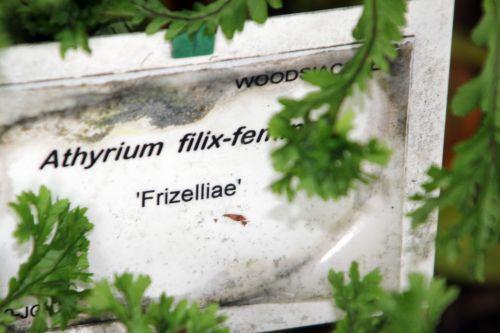 athyrium frizelliae étiq 30 juin 2012 239 (5).jpg