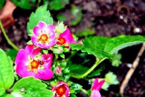 fraisier rouge romi 11 avril 044.jpg