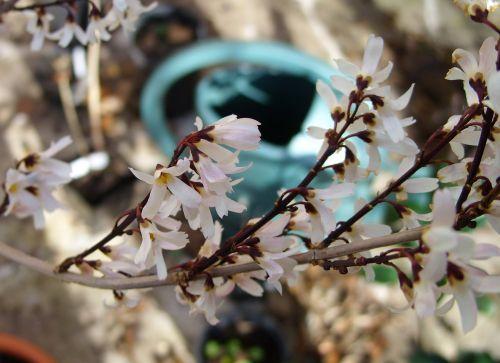 c abeliophyllum 11 fev 002.jpg