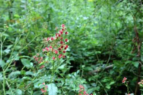 1 fraise des bois romi 30 juillet 029.jpg