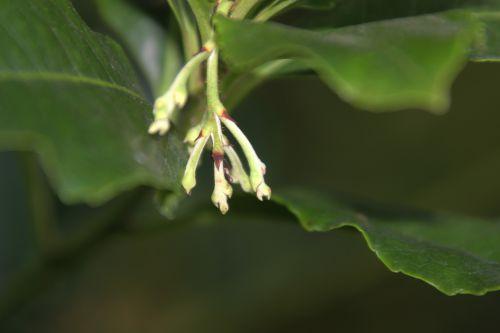 5 arbutus andrachnoides veneux 14 sept 2014 001 (1).jpg