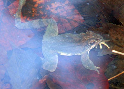 grenouille veneux 18 mars 007.jpg