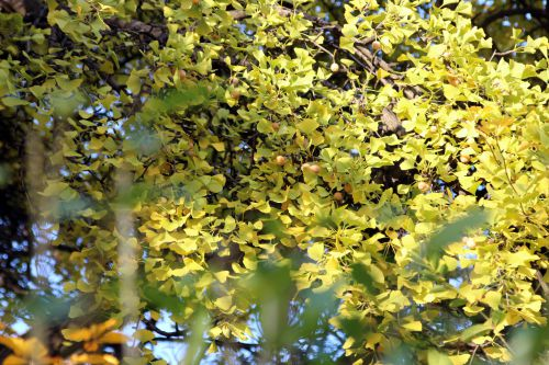 c ginkgo paris 1 dec 2013 218.jpg