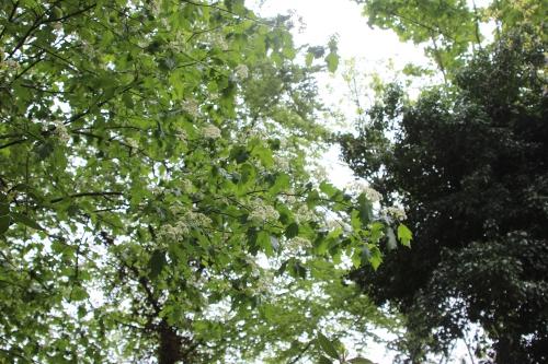 3 sorbus torminalis veneux 10 mai 2016 001.jpg