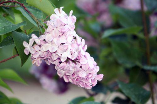 syr x hyacinthiflora esther beauty 27 avril 067.jpg