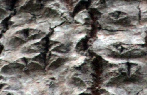 6 populus alba losange romi 7 nov 2013 047 (6).jpg