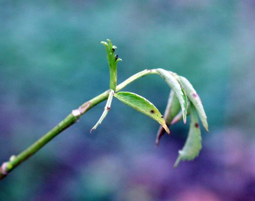 hookeri feuilles romi 11 dec 039.jpg
