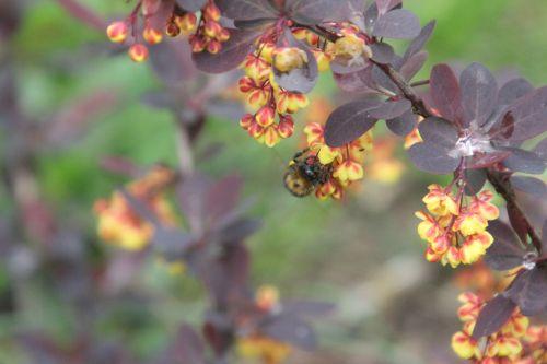 e berberis ottaw romi 28 avril 2012 061.jpg