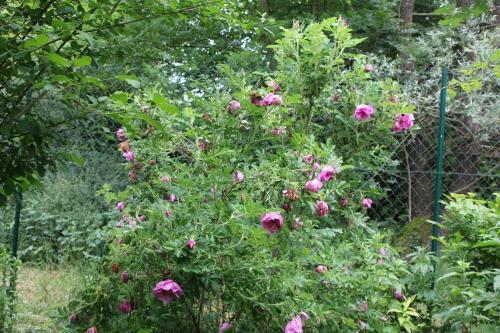 3 rosa rugosa romi 29 mai 2015 022.jpg