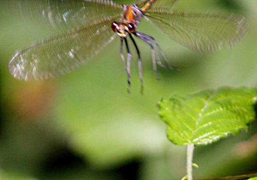 agrion rouge ailes ouv 12 juil 2010 pp 033.jpg