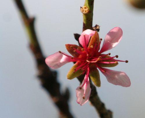 pecher fleur 19 avril 023.jpg