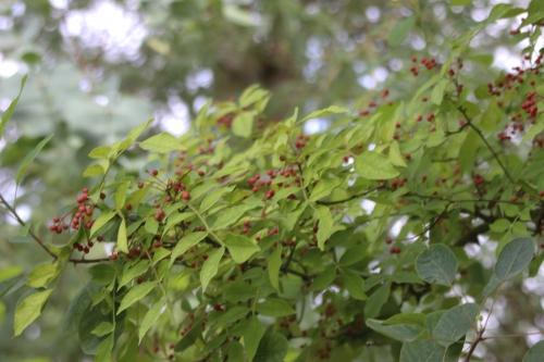 3 zanthoxylum americanum marnay 11 sept 2016 028.jpg