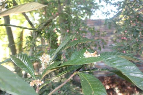 9 eriobotrya oliver veneux 14 oct 2017 006 (3).jpg