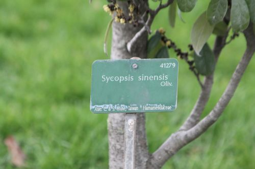 9 sycopsis sinensis paris 2 fév 2013 033 (6).jpg