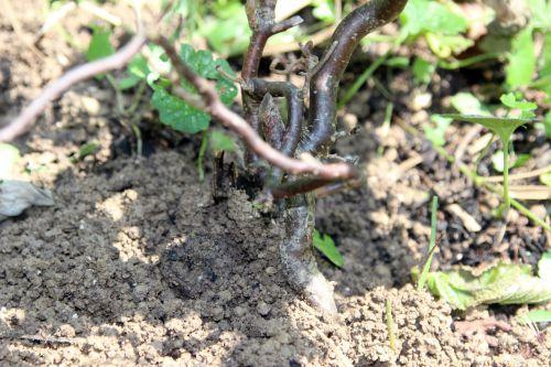 8 corylus tortuosa romi 23 juil 2014 028 (7).jpg