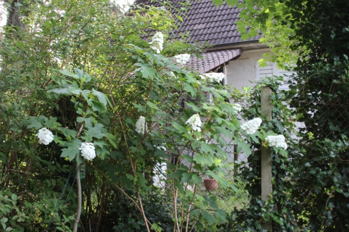 1 hydrangea quercifolia veneux 10 juil 2016 001.jpg