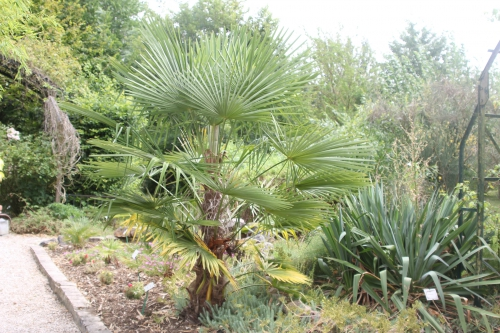 4 trachycarpus takil marnay 19 juil 2015 150.jpg