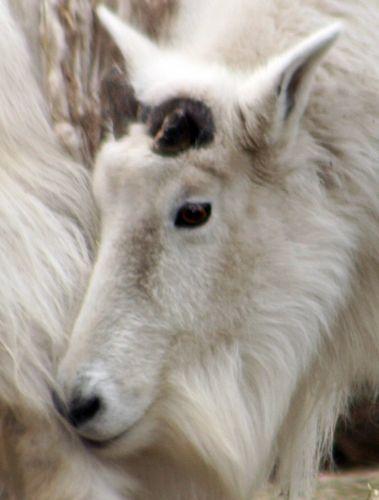 chèvre tête f paris 9 fev 125.jpg