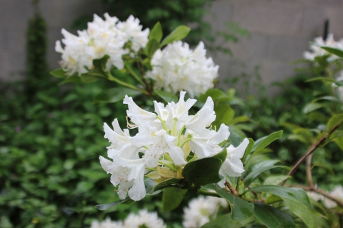 4 cunningham's white veneux 12 mai 2016 003.jpg
