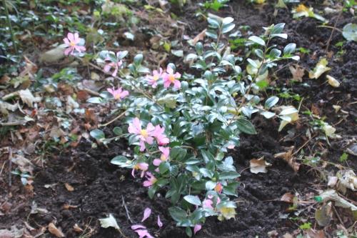 7 camellia sasanqua veneux 1 nov 2014 017 (2).jpg