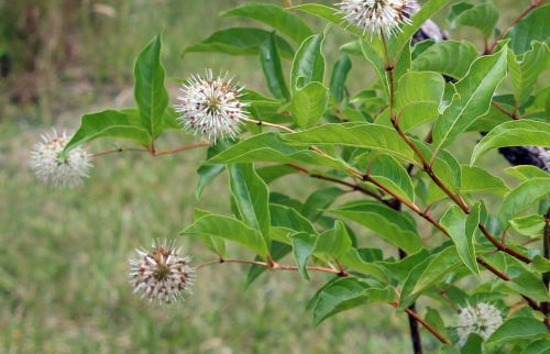 3 cephalanthus près barres 27 juillet 2013 014.jpg