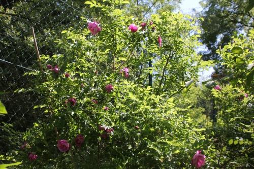 3 rosa rugosa romi 18 mai 2015 044.jpg