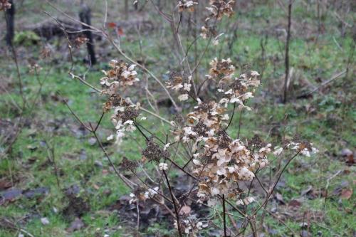 2 hydrangea romi 7 janv 2014 030.jpg
