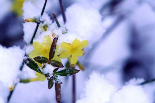 neige 1 jasmin 18 dec 011.jpg