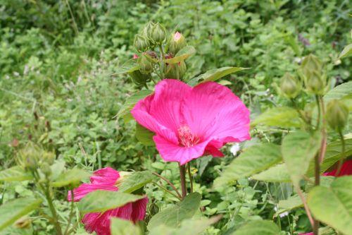 hibiscus moscheutos trif 20 août 013.jpg