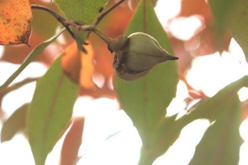 stewartia sinensis 6 gb 21 oct 2012 252 (7).jpg