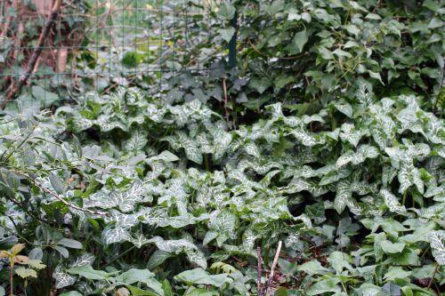 0 arum italicum 24 mars 003.jpg