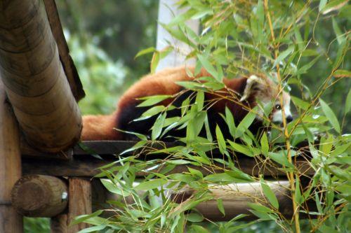 petit panda repas 9 fev 064.jpg